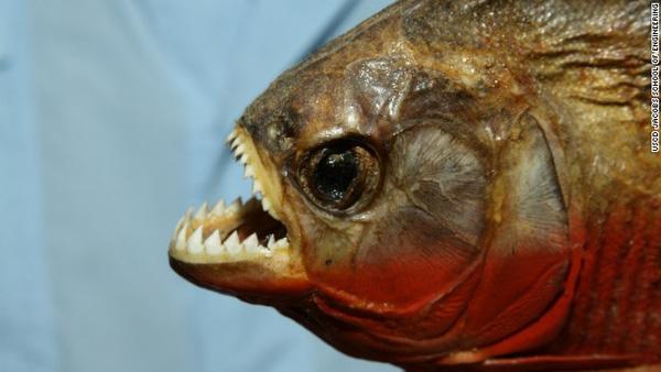 Cá hổ Pirahna là loài động vật ăn thịt khát máu nhất thế giới.