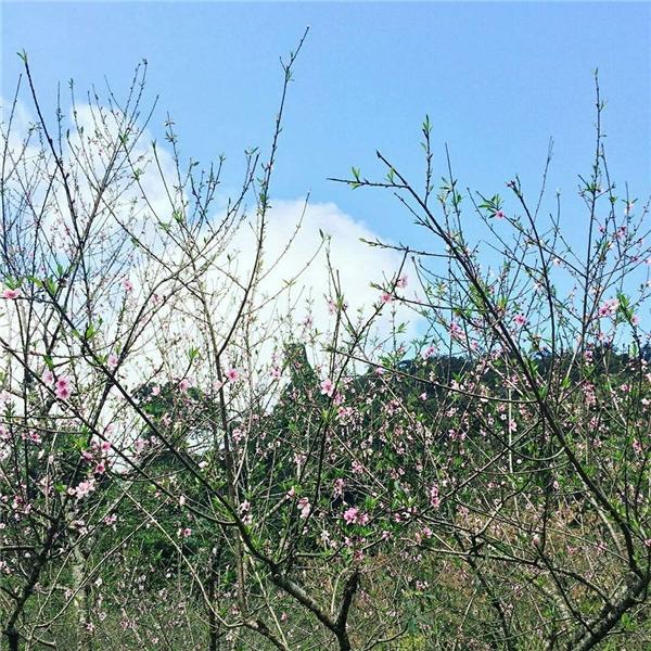 Những ngày này hoa đào vẫn còn đang nở rộ, từng cánh hoa, từng cành cây, từng chồi non vẫn còn đang khoe sắc. (Ảnh: kimnhungaquarius)