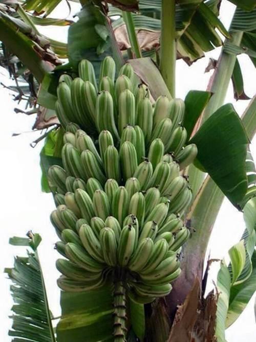 Người dân quanh vùng hay dùng lá của giống chuối nàyđể lợp mái hay gói ghém thực phẩm.