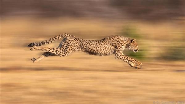 Báo gê-pa/báo cheetah (120km/h): Nó là loài thú bốn chân nhanh nhất thế giới, có thể tăng tốc từ 0 lên 10km/h chỉ trong vòng có 3 giây. Theo tạp chí National Geographic, có một cô báo cheetah cái có tên Sarah từng chạy được 100m trong vòng 5,59 giây, trở thành con vật nhanh nhất thế giới lúc 11 tuổi. Sarah qua đời vào ngày 22/01/2016 vừa qua, được 15 tuổi.