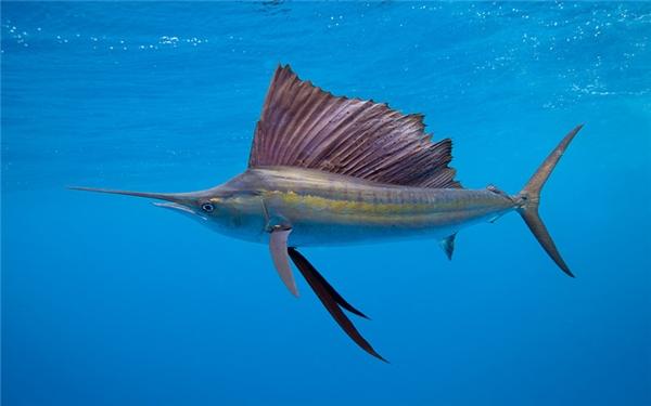 Cá buồm (109km/h): Đây là loài cá bơi nhanh nhất dưới biển, với chiếc vây dựng đứng kéo dọc sống lưng và chiếc mỏ nhọn đặc trưng. Ngoài ra chúng còn có thể phóng nhảy lên mặt nước rất ấn tượng. Dù nhanh như vậy nhưng chúng vẫn bị con người săn bắt rất nhiều.