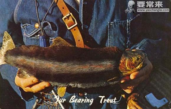 Lông trên cáFur Bearing Trout không giúp con cá ấm áp hơn trong môi trường lạnh giá.