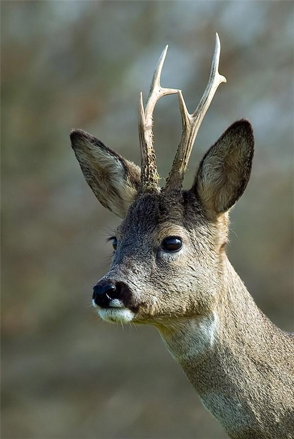 Hoẵng: Loài vật này rất nhút nhát, thường sống sâu trong rừng và rất dễ bỏ chạy nếu hoảng sợ. Dù vậy bộ lông và cặp sừng của chúng vẫn là những kỳ quan của thế giới tự nhiên.