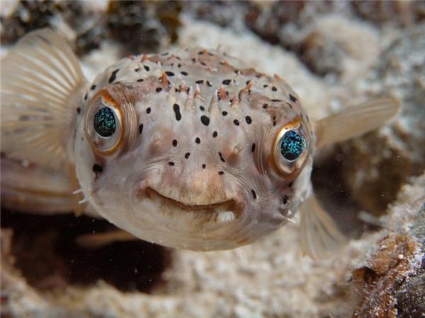 Cá nóc: Dù có vẻ bề ngoài hiền lành và ngây thơ như thế này nhưng cá nóc lại được xếp thứ hai trong danh sách động vật có xương sống độc thứ hai trên thế giới, chỉ sau ếch độc phi tiêu vàng. Đặc biệt khi hoảng sợ hay nổi giận, người chúng lại phồng lên và tua tủa gai.