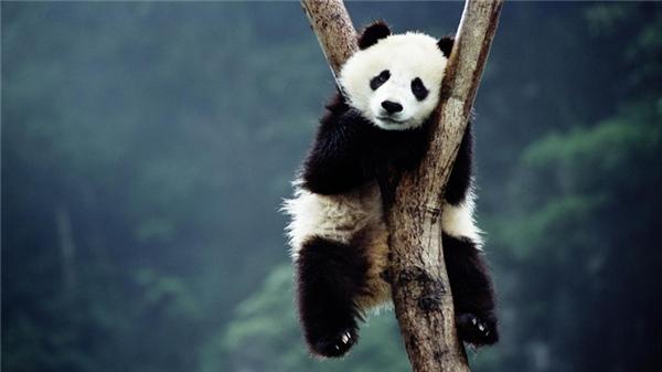 Gấu trúc: Đây được xem là một trong những loài động vật có ngoại hình dễ nhận dạng nhất thế giới. Dù từng thuộc nhóm động vật có nguy cơ tuyệt chủng nhưng hiện tại loài này đang dần tăng về số lượng.