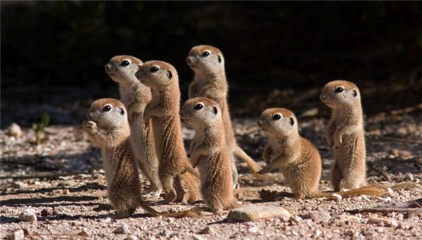 Cầy meerkat/chồn đất: Loài cầy này sinh sống theo bầy đàn, mỗi bầy có từ 20 con trở lên. Đặc biệt chúng có dáng đứng trên hai chân sau y hệt con người.