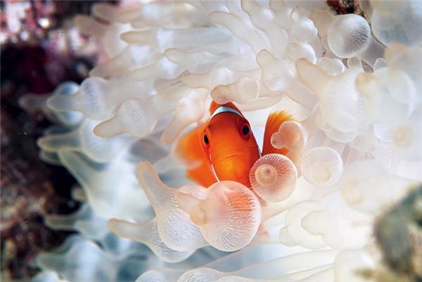 Cá hề: Phải có lý do mà người ta mới đưa những chú cá hề này thành nhân vật chính trong bộ phim hoạt hình nổi tiếng Finding Nemo. Đó là vì chúng quá đáng yêu. Trong tự nhiên, chúng có màu đỏ, vàng hoặc cam sọc trắng, thường sống cộng sinh với hải quỳ.