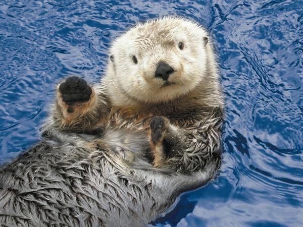 Rái cá biển: Đây là loài có cân nặng lớn nhất trong họ chồn, dù vậy chúng lại không có lớp mỡ giữ ấm ở dưới da. Chúng thường bơi trên mặt nước bằng cách nằm ngửa và thả trôi, cả bầy kết thành một chiếc bè lớn để không lạc nhau.