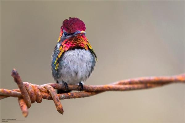 Chim ruồi ong: Đây chính là loài chim nhỏ nhất trên thế giới với kích thước không hơn gì một con ong. Tuy nhiên chúng lại đập cánh rất nhanh, mỗi giây có thể đập cánh 80 lần, khiến mắt thường chỉ có thể trông thấy một vệt lờ mờ. Ngoài ra chúng còn có thể lơ lửng trên không khí một chỗ như thể máy bay trực thăng để hút mật hoa.