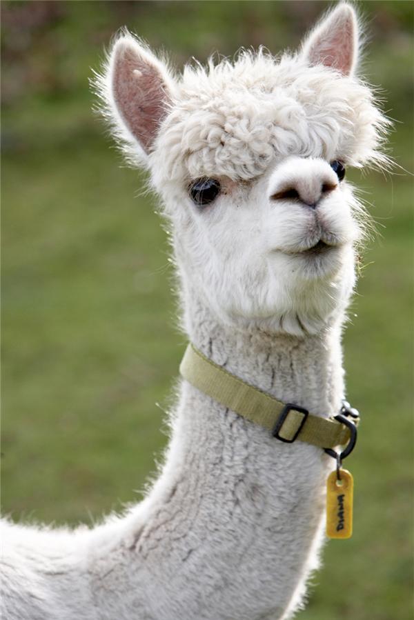 Lạc đà Alpaca/lạc đà cừu: Loài lạc đà này không được nuôi để chở hàng mà để lấy lông vì bộ lông của chúng rất giống len. Chính bộ lông đó, đặc biệt là trên đỉnh đầu, đã giúp cho lạc đà cừu có một vẻ ngoài khá hài hước.