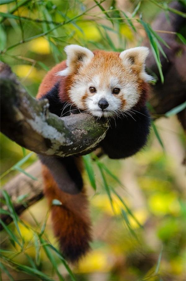 Gấu trúc đỏ: Loài gấu trúc này khá nổi bật với bộ lông xù hung đỏ, đôi mắt xoe tròn và đôi tai nhọn. Chúng hầu như chỉ hoạt động về đêm, còn ban ngày chúng nằm dài trên cây và ngủ khì.