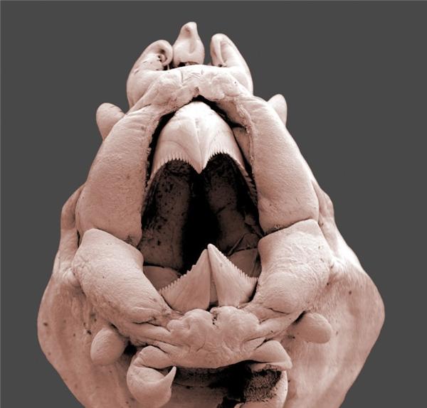 Bọ nước qua kính hiển vi, cũng khá là kinh dị.