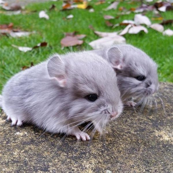 Chinchilla khi còn bé trông không khá mấy một loài chuột hay sóc chuột.